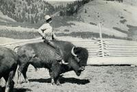 Richard W. Rock and Buffalo, Killed by the Buffalo after this Photo was Taken